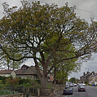 Enable pictures to see an image of the Old Yew Lane Sycamore
